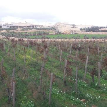 Vineyards of Malta