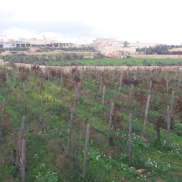 Vineyards of Malta